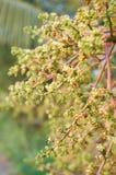Fleur fraîche de mangue Image stock