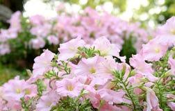 Fleur fraîche de pétunia Photos libres de droits