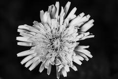 Fleur fraîche de pissenlit à l'arrière-plan noir image stock