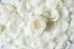 Fleur fraîche de rose de blanc sur des petales de rose de blanc Photo stock