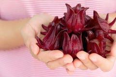 Fleur fraîche de roselle Images stock