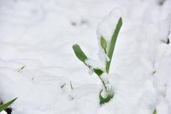 Fleur fraîche de tulipe dans un jardin sous la neige en avril image stock