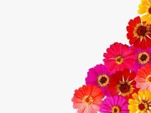 Fleur fraîche de zinnia d'isolement sur le fond blanc photos stock