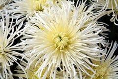 Fleur fraîche et pétales blancs, fond naturel, beauté de jardin Images stock