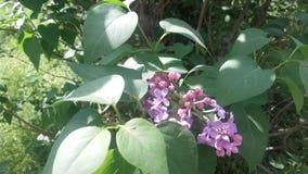 Fleur - fruit de floraison de ressort image libre de droits