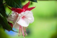 Fleur fuchsia photo libre de droits