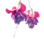 Fleur fuchsia colorée d'isolement sur le fond blanc, Rocket F Image libre de droits