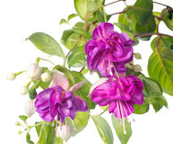 Fleur fuchsia lilas d'isolement sur le fond blanc, Heydon Images libres de droits