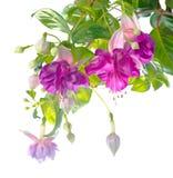 Fleur fuchsia lilas de branche d'isolement Images stock