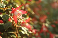 Fleur fuchsia rose et blanche ensoleillée photos stock