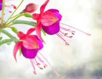Fleur fuchsia sur le blanc photo stock