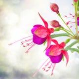 Fleur fuchsia sur le blanc photo libre de droits