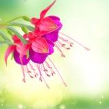 Fleur fuchsia sur le blanc images libres de droits