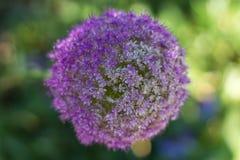 Fleur géante d'oignon fleurissant au printemps Images libres de droits