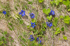 Fleur gentiana et alpine dans l'élevage bleu intense sur les Alpes Photo libre de droits