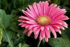 Fleur - Gerbera Photo stock