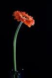 Fleur - gerbera (marguerite) images libres de droits