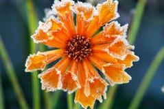 Fleur givrée photo libre de droits