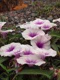 Fleur, gloire de matin Images stock