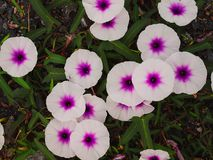 Fleur, gloire de matin Image libre de droits