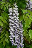 Fleur, glycine chinoise photos stock