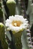 Fleur gracieuse de Saguaro Photographie stock