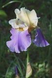 Fleur grande d'iris barbu de Fling du Panama Photographie stock