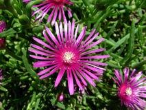 Fleur grecque de nouille Photographie stock