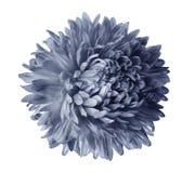Fleur grise d'aster d'isolement sur le fond blanc avec le chemin de coupure Plan rapproché aucune ombres image stock