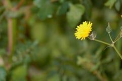 Fleur haute étroite de pissenlit à Alicante Espagne photos stock