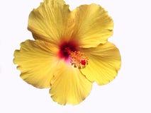 Fleur hawaïenne jaune lumineuse de ketmie photographie stock