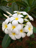 Fleur III de Plumeria Photo stock