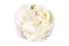 Fleur importante de pivoine de lis blanc d'isolement sur le fond blanc Photo stock