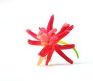 Fleur indica de Quisqualis photo stock