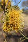 Fleur indigène australienne Photographie stock libre de droits