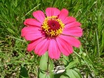 Fleur indigène de marguerite de marguerite image libre de droits