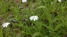 Fleur innocente dans la forêt Photo stock