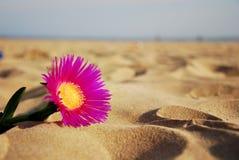 Fleur isolée sur une plage sablonneuse Images libres de droits