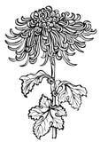 Fleur japonaise de chrysanthème Images libres de droits