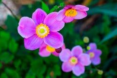 Fleur japonaise de hupehensis d'anémone d'anémone Usine de jardin rose dans le Ranunculaceae de famille, aka l'anémone, le thimbl photos libres de droits