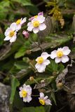 Fleur japonaise de hupehensis d'anémone d'anémone Usine de jardin rose dans le Ranunculaceae de famille, aka l'anémone, le thimbl images stock