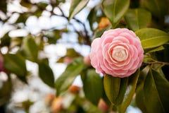 Fleur japonaise rose lumineuse de camélia en fleur Photo stock