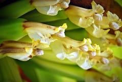 Fleur jaunâtre de banane Photographie stock