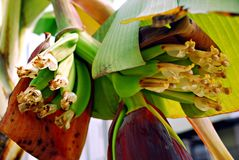 Fleur jaunâtre de banane Photos libres de droits