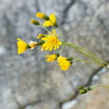 Fleur jaune à la plage Photos libres de droits