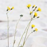 Fleur jaune à la plage Photographie stock