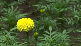 Fleur jaune clips vidéos