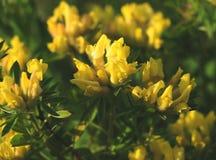 Fleur jaune Photographie stock