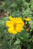 Fleur jaune Photos libres de droits