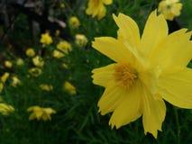 Fleur jaune Photo stock